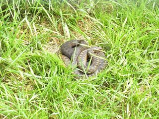 Adder hiding in long grass in North Devon. Advice from Charter Vets